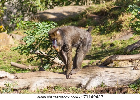 Mandrill (Mandrillus sphinx) is a primate closely related to the baboons - stock photo