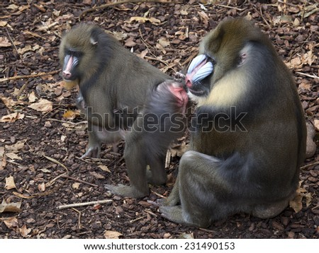 Mandrill mother and father with baby  - stock photo