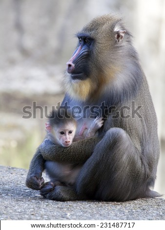 Mandrill mother with her baby - stock photo
