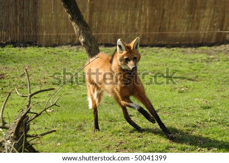 Maned Wolf Pictures Maned Wolf Chrysocyon