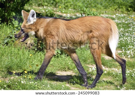 Maned Wolf walking on grass - stock photo