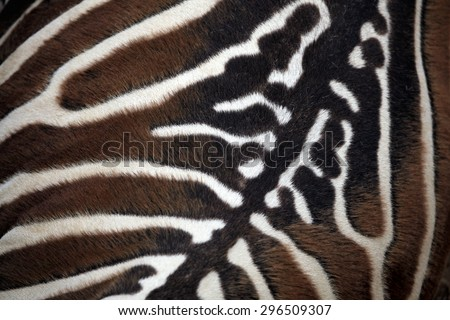 Maneless zebra (Equus quagga borensis) skin texture. Wildlife animal.  - stock photo