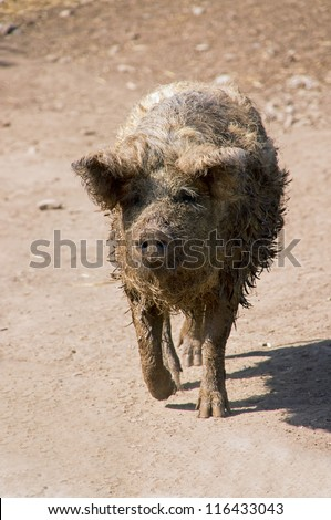 Mangalitza is a Hungarian breed pig that is a close relation to the wild boar. - stock photo