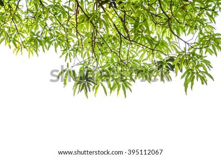 Mango green leaves isolated on white background - stock photo