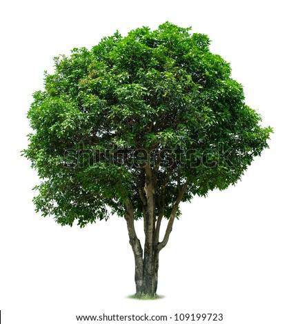 Mango Tree - stock photo