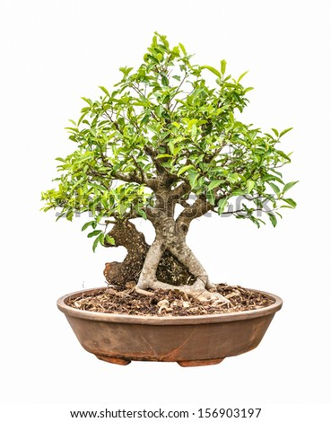 mango tree as bonsai, root over the rock, isolated on white background - stock photo