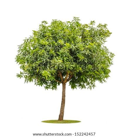 mango tree isolated on white background - stock photo
