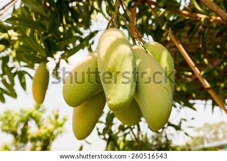 Mango tree with full of fruits - stock photo