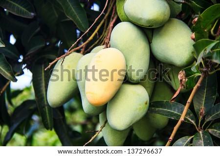 mangoes on a mango tree in plantation - stock photo