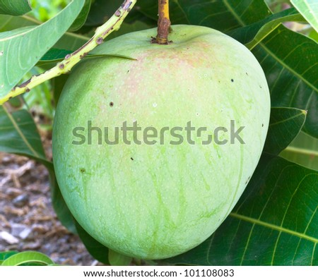 mangoes on the branch of a tree - stock photo