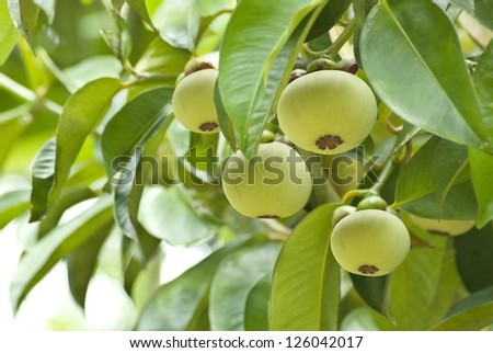 mangosteen fruits hang on the tree - stock photo
