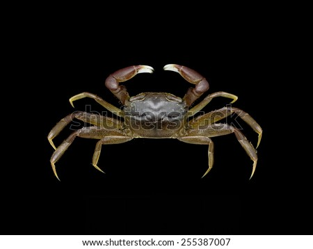 Mangrove crab on black background - stock photo