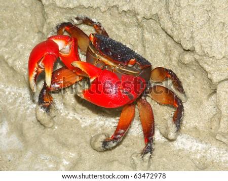 Mangrove Crab on the beach near Cape Tribulation in Queensland, Australia - stock photo
