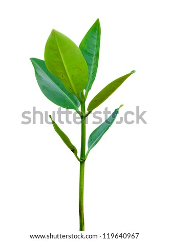 Mangrove forest at beach - stock photo