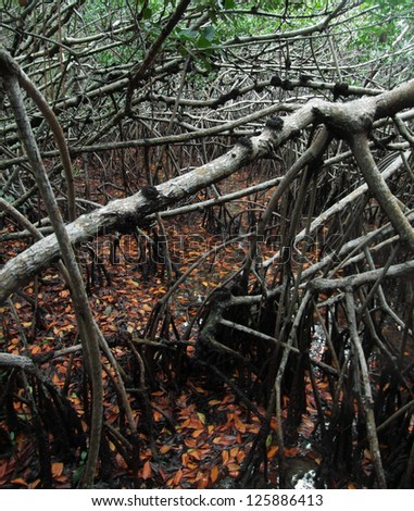 mangrove forest at the Everglades in Florida (USA) - stock photo
