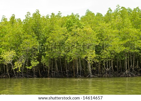 mangrove forest on the water, Thailand - stock photo