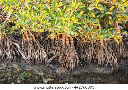 Mangrove forest topical rainforest for background,Big tree root. - stock photo