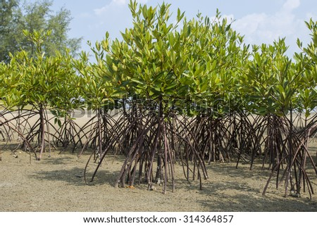 Mangrove forest topical rainforest for background, Ta lum pook promontory of Thailand. - stock photo