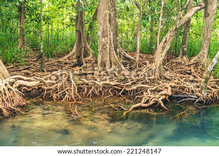 Mangrove Forests  in Krabi in the Thailand - stock photo