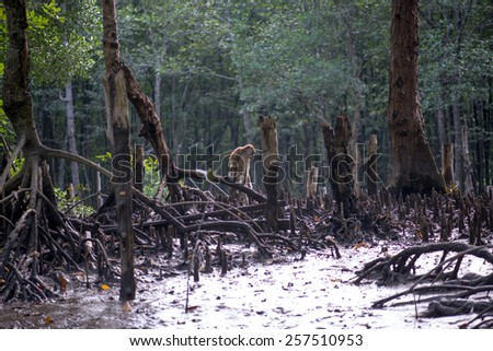 Mangrove forests in Malaysia - stock photo