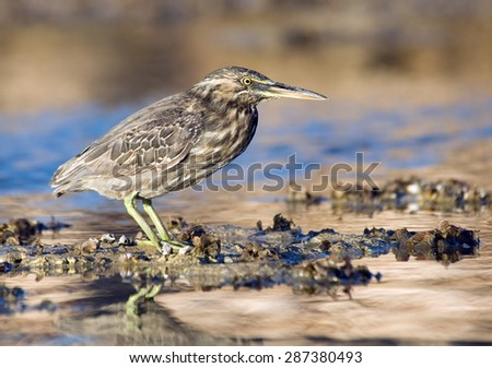 Mangrove heron on Red Sea coral reef in Sharm el-Sheikh, Egypt - stock photo