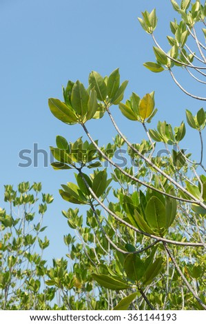 Mangrove leafs with blue sky - stock photo