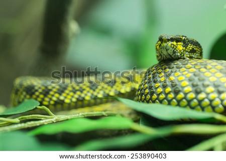 mangrove pit viper lying on the tree. - stock photo