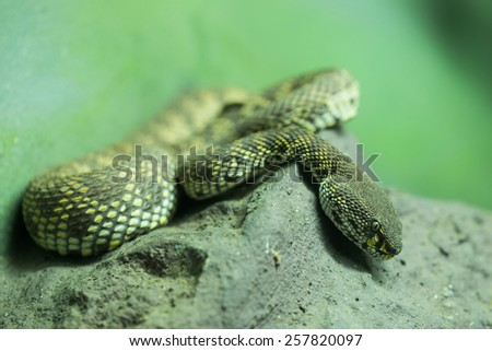 mangrove pit viper lying on the tree. - stock photo