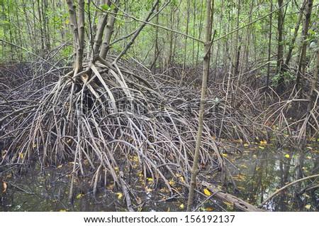 mangrove root - stock photo