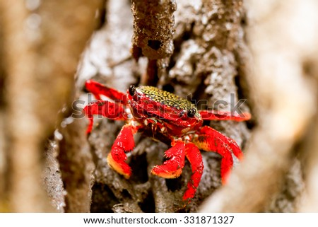 Mangrove Root Crab In His Natural Environment - stock photo