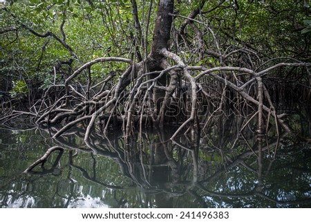 Mangrove roots reach into shallow water in a forest growing in the Mergui Archipelago off the coast of Myanmar. Mangroves are important nursery habitat for many species birds, fish and invertebrates. - stock photo