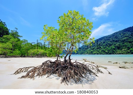 Mangrove roots spread on the beach at at Surin Islands,Thailand. - stock photo