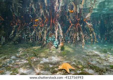 Mangrove roots underwater with reflection below water surface, Caribbean sea, Panama, Central America - stock photo