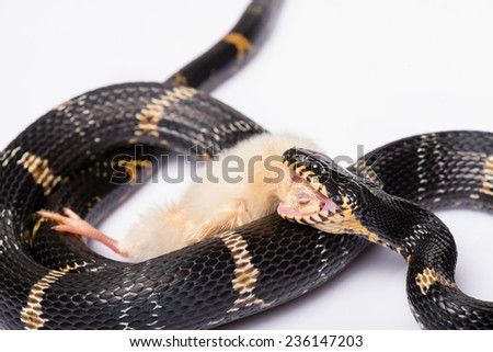 mangrove snake  eating  her prey chicken isolated on white background - stock photo
