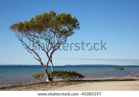 Mangrove tree at sand ocean beach in Australia - stock photo