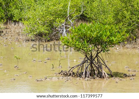 mangrove tree at sea coast - stock photo