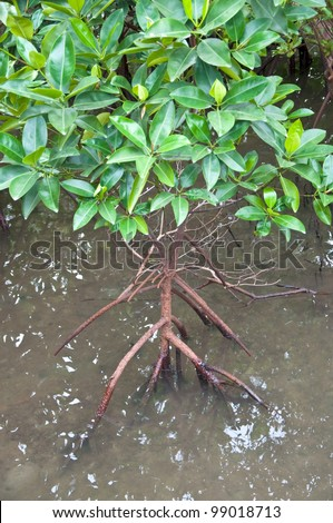 mangrove tree at the mangrove forest - stock photo