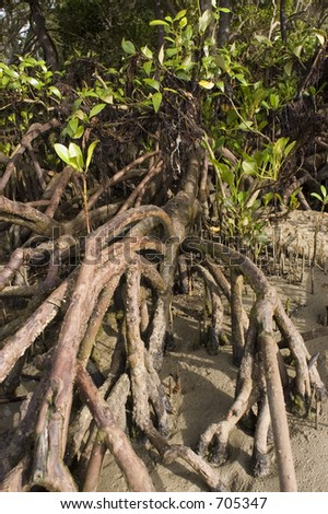 Mangrove tree during low tide at Cape Tribulation outside Cairns in Australia - stock photo