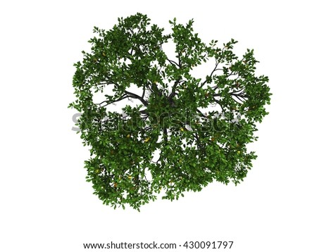 Mangrove tree in white background isolated top view  - stock photo
