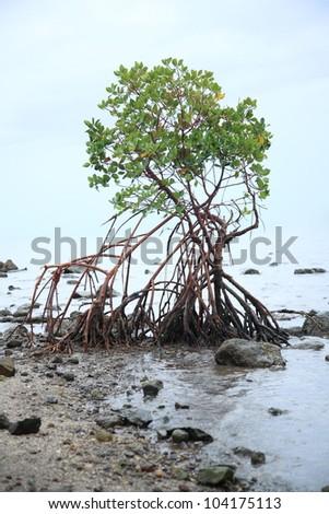 Mangrove tree roots on beach - stock photo