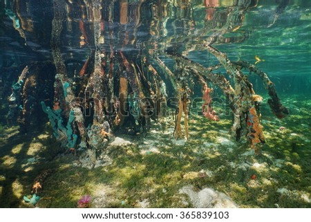 Mangrove tree roots with sea sponges underwater, Caribbean sea - stock photo