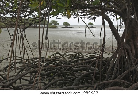 Mangrove tree whit hanging roots at Cape Tribulation Australia - stock photo