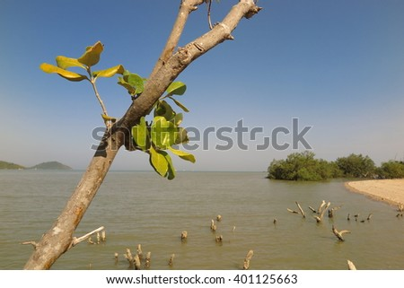 mangrove trees by stumps dead of  in background sea, Phuket Thailand  - stock photo