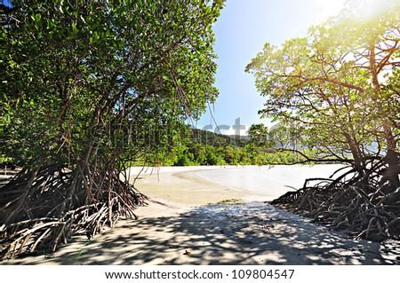Mangrove trees by the beach - stock photo