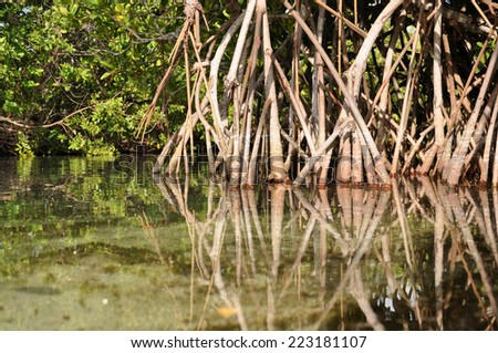 Mangroves - stock photo