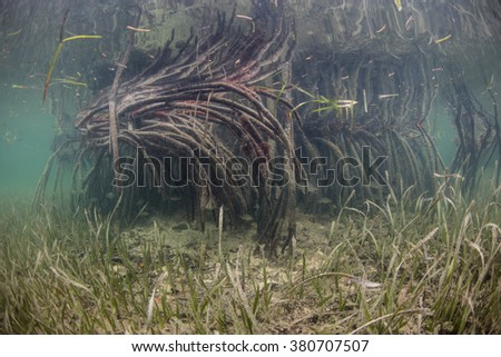 Mangroves and seagrass meadows growing in Turneffe Atoll, Belize, offer many marine organisms, including fish, rays, lobster, crabs, and crocodiles, food and protective habitat in which to grow. - stock photo