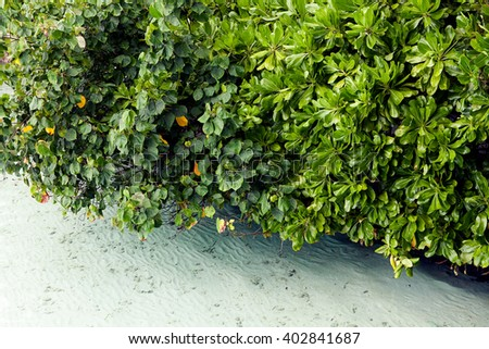 Mangroves growing in shallow lagoon in the bay of Maldive island - stock photo