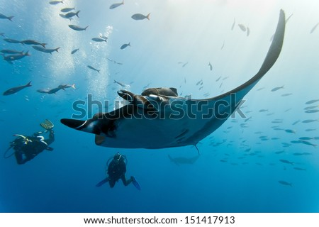 Manta and diver on the blue background - stock photo