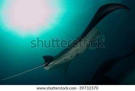 manta birostris, manta ray - stock photo