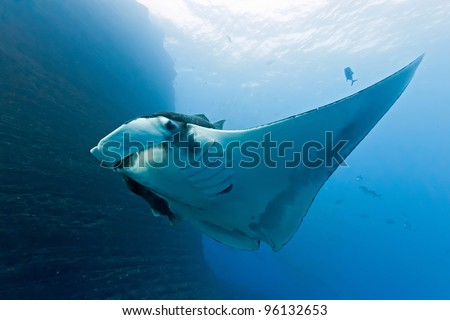 Manta on the coral reef - stock photo